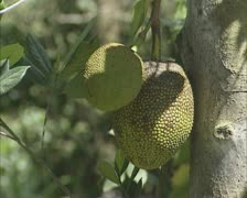Tree with jackfruit (Artocarpus heterophyllus) Stock Footage