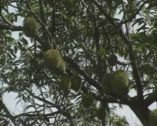 Tree jackfruit zoom out Stock Footage