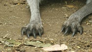 Claws and face of a kangaroo Stock Footage