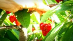 Cherry garden shots 3 Stock Footage
