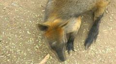 An Australian Swamp Wallaby looking alert - stock footage