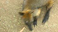 An Australian Swamp Wallaby looking alert Stock Footage