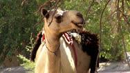 Stock Video Footage of Dubai, Camel