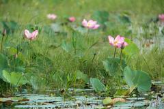lotus flower meadow - stock photo