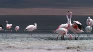 Stock Video Footage of flamingo5