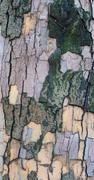 The bark of a sycamore tree Stock Photos