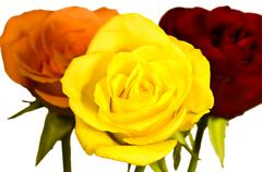 roses in three colors - stock photo