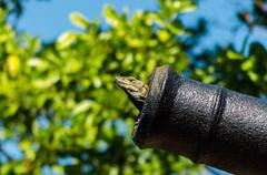 A Lizard in a Cannon Stock Photos