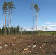 Deforestation in harvested forest - stock photo