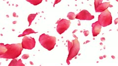 Flying rose petals on white. HD 1080. Looped animation. Stock Footage