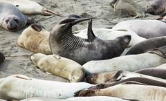 sea elephant - stock photo