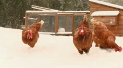 Chickens pecking for food in snow Stock Footage
