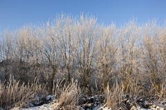 frosted saplings - stock photo