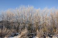 Stock Photo of frosted saplings
