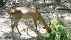Beautiful Young deer eating grass Stock Footage