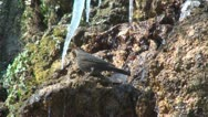 Blackbird, Thirsty Blackbird Drinking Fresh Water from a River in Mountain Stock Footage