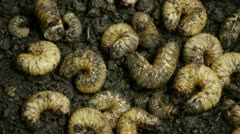 Summer Chafer beetle Larvae Close Up - stock footage