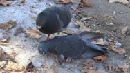 Dead Pigeon on Snow in Park, Dove Killed by Frost, Winter, Pigeons, Doves, POV Stock Footage