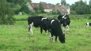 Cows (3) Stock Footage