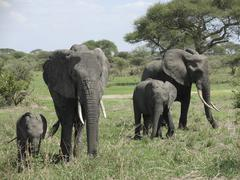 elephant familyin africa - stock photo