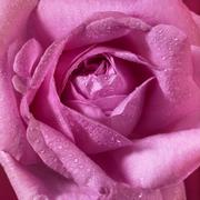 wet pink rose flower closeup - stock photo