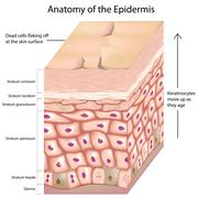 3d anatomy of the epidermis Stock Illustration