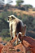 Presbytis monkey on fort wall - india Stock Photos
