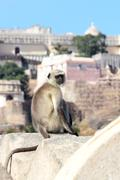 presbytis monkey on fort wall - india - stock photo