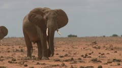 A bull elephant leads the way to a waterhole Stock Footage