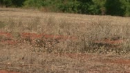 A flock of birds in dry grass Stock Footage