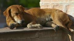 Stray dog. - stock footage