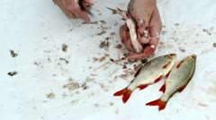 Fisherman hand with knife clean roach fish scale and guts Stock Footage