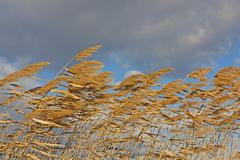 golden reeds blowing in the wind - stock photo