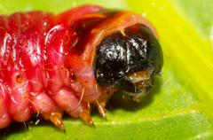 cossus cossus larvae - stock photo