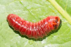 Cossus cossus larvae Stock Photos