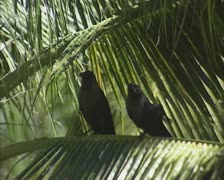 Crows on palm leaf zoom out palm trees Stock Footage