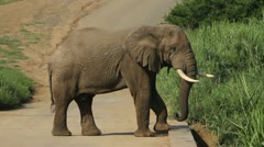 Elephant flapping its ears . Stock Footage