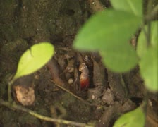 Crab forages in mangrove Stock Footage