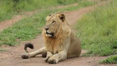 A lion siting on a dirt road. Stock Footage