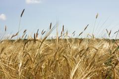 Keltainen viljakasvien alalla Kuvituskuvat