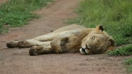 Lion sleeping on the dirt road Stock Footage