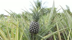 Pineapple plantation in Thailand Stock Footage