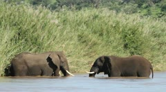 Two African elephants facing each other in the river Stock Footage