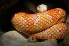 Corn snakes (pantherophis guttatus) Stock Photos