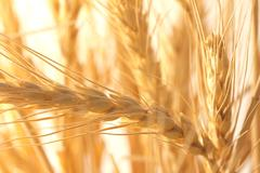Ripe wheat as background. macro Stock Photos