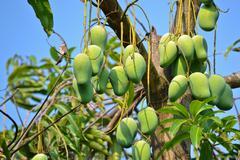 Mango on thee of thailand southeast asia Stock Photos