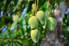 Stock Photo of mango on thee of thailand southeast asia