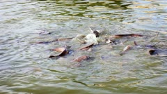 Catfish feeding Stock Footage