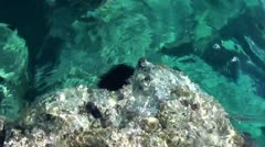 Two sea-urchins on rock Stock Footage
