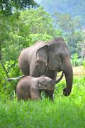 Stock Photo of asia elephant mother and baby in forest of southeast asia